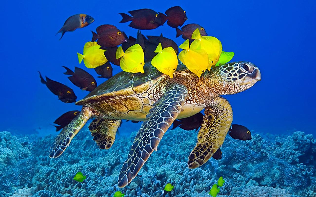 Обои для рабочего стола Рыбы Черепахи Подводный мир Животные животное