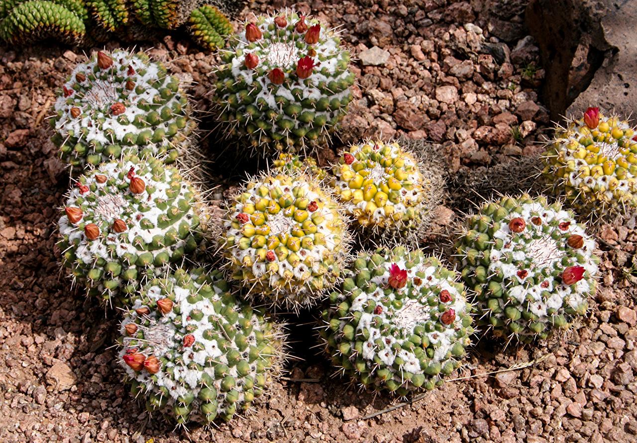 Фотографии цветок Кактусы Крупным планом Цветы вблизи