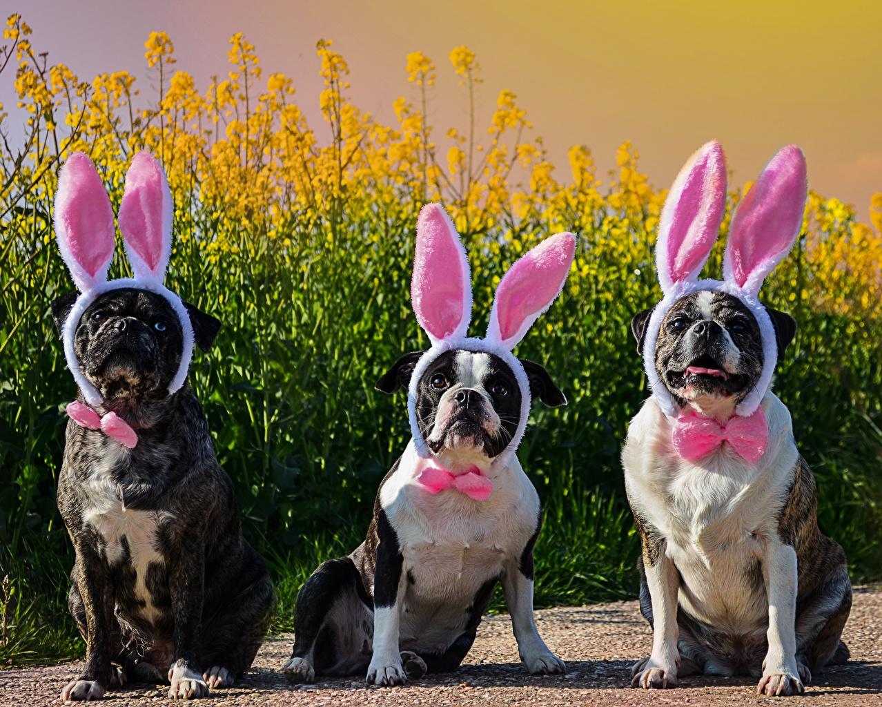 Картинка Смешные бульдога Собаки Ушки кролика три Галстук-бабочка Юмор Бульдог собака Трое 3 втроем