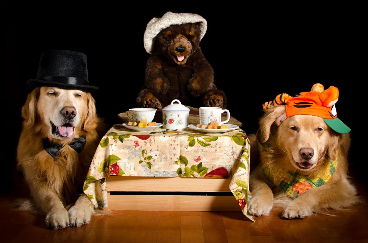 Фотография Ретривер Собаки две шляпе Плюшевый мишка чашке животное на черном фоне напиток ретривера собака 2 два Двое шляпы Шляпа вдвоем Мишки Чашка Животные Черный фон Напитки