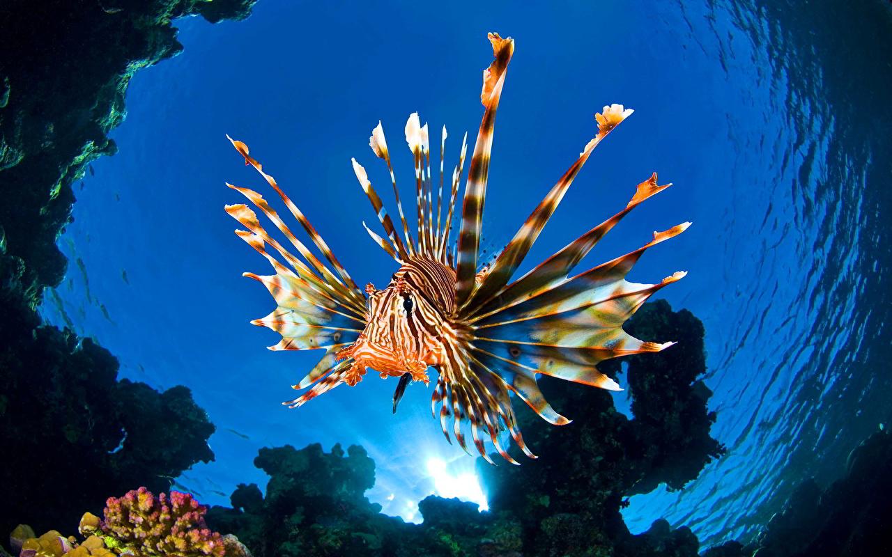 Фотография крылатка Рыбы Подводный мир Вода Животные Крылатки воде животное