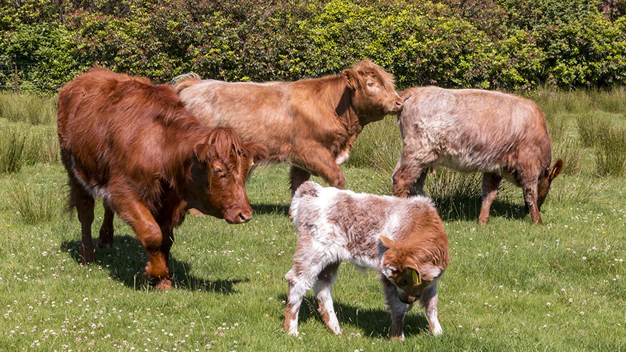 Фото Корова Детеныши Трава животное траве Животные