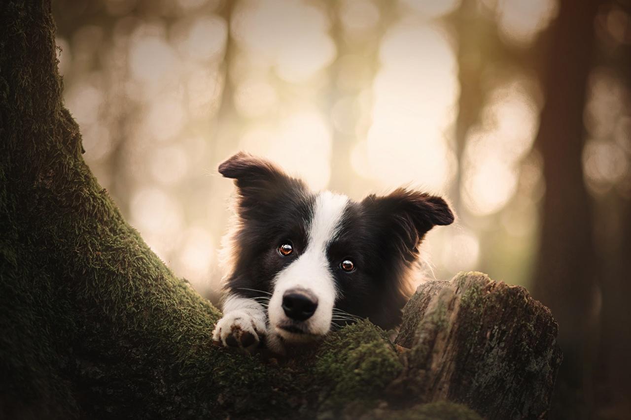 Фотографии Бордер-колли собака смотрит Животные Собаки Взгляд смотрят животное