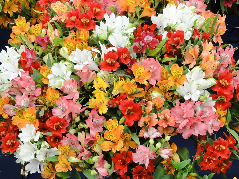 Обои для рабочего стола Цветы Альстрёмерия Много вблизи цветок Крупным планом