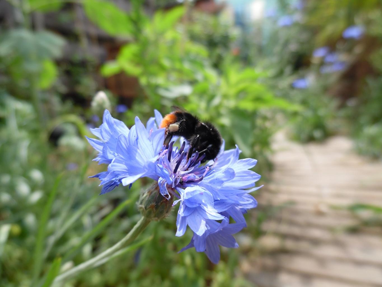 Обои для рабочего стола Bumblebee синие цветок Васильки Крупным планом синих Синий синяя Цветы вблизи
