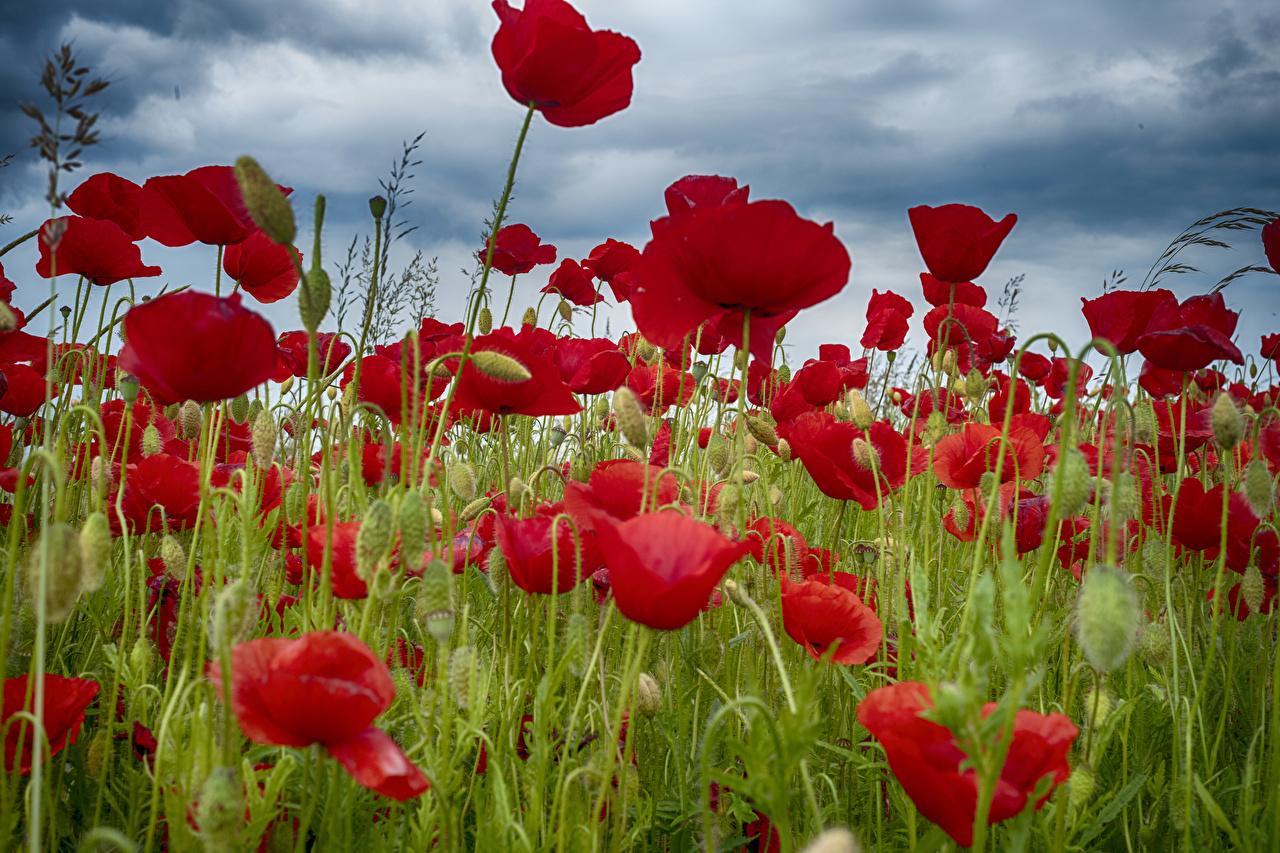 Фотография Поля Маки Цветы Бутон вблизи мак цветок Крупным планом