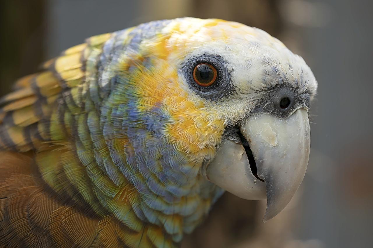 Картинки Попугаи Глаза St Vincent Amazon Parrot Клюв Голова животное Крупным планом вблизи головы Животные