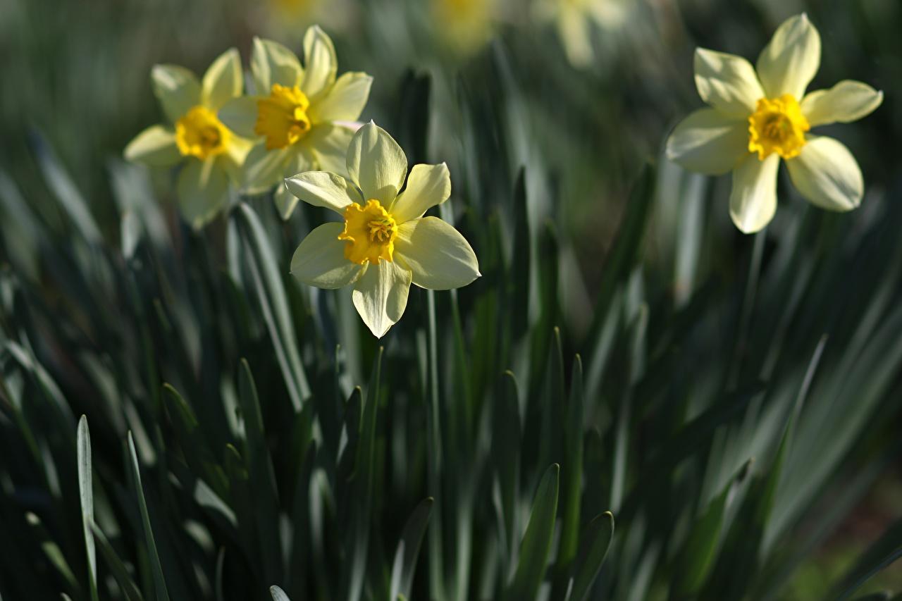 Картинки боке Цветы Нарциссы втроем вблизи Размытый фон цветок три Трое 3 Крупным планом