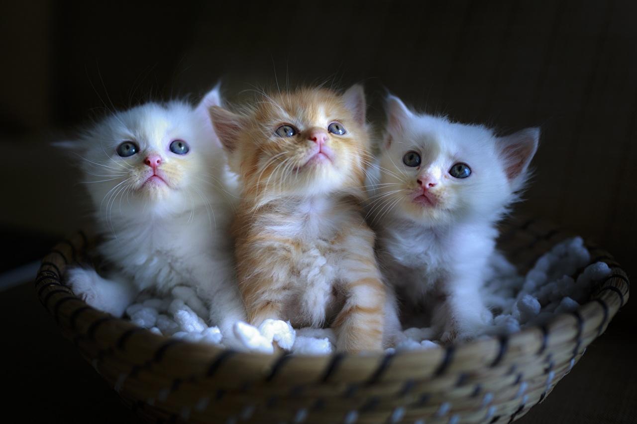 Картинки котенок Кошки Рыжий белые Корзинка Трое 3 животное котят Котята котенка кот коты кошка рыжие рыжая белых Белый белая корзины Корзина три втроем Животные