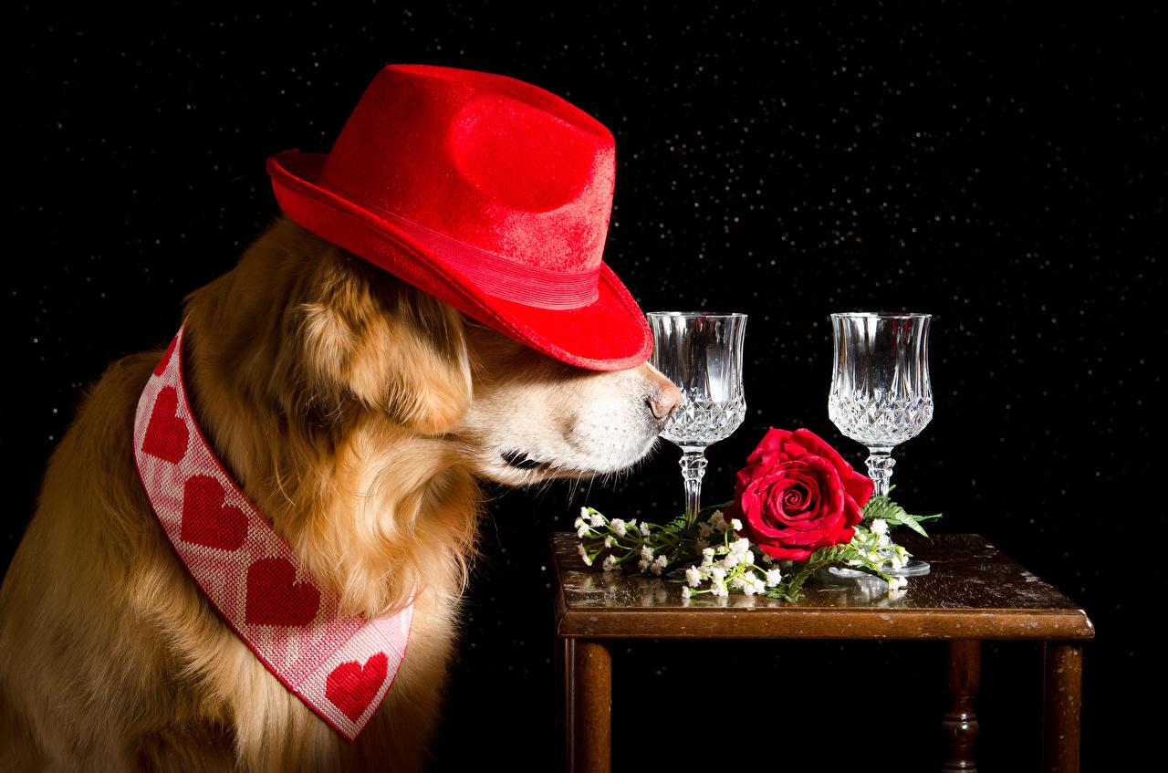 Фотография Ретривер Собаки Сердце Розы Шляпа рюмки Животные Черный фон ретривера собака серце сердца сердечко роза шляпе шляпы Рюмка животное на черном фоне