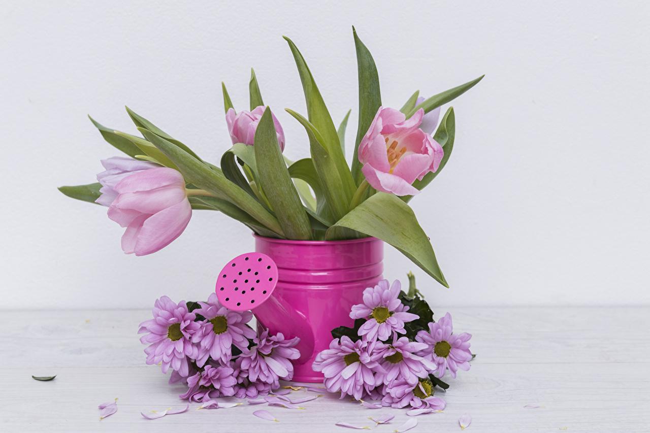 Фотография розовых тюльпан цветок Хризантемы Розовый розовые розовая Тюльпаны Цветы