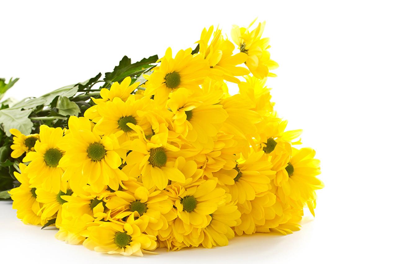 Фотографии желтая цветок Хризантемы Много Желтый желтые желтых Цветы