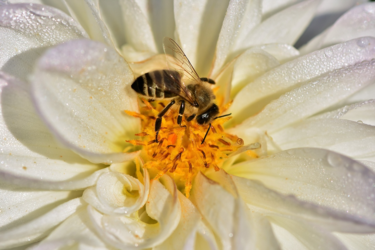 Картинка Пчелы насекомое Георгины вблизи животное Насекомые Животные Крупным планом