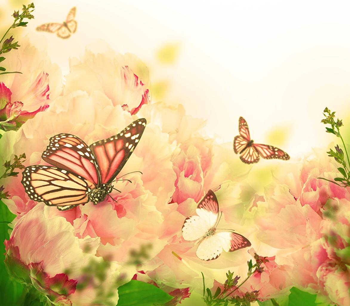 Фотографии Данаида монарх бабочка животное Бабочки Животные
