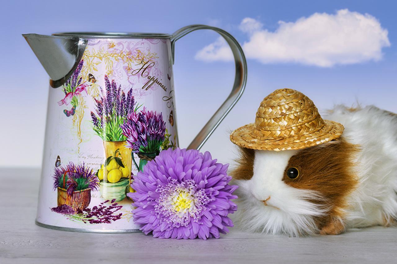 Картинки Морские свинки Шляпа Астры цветок животное шляпы шляпе Цветы Животные