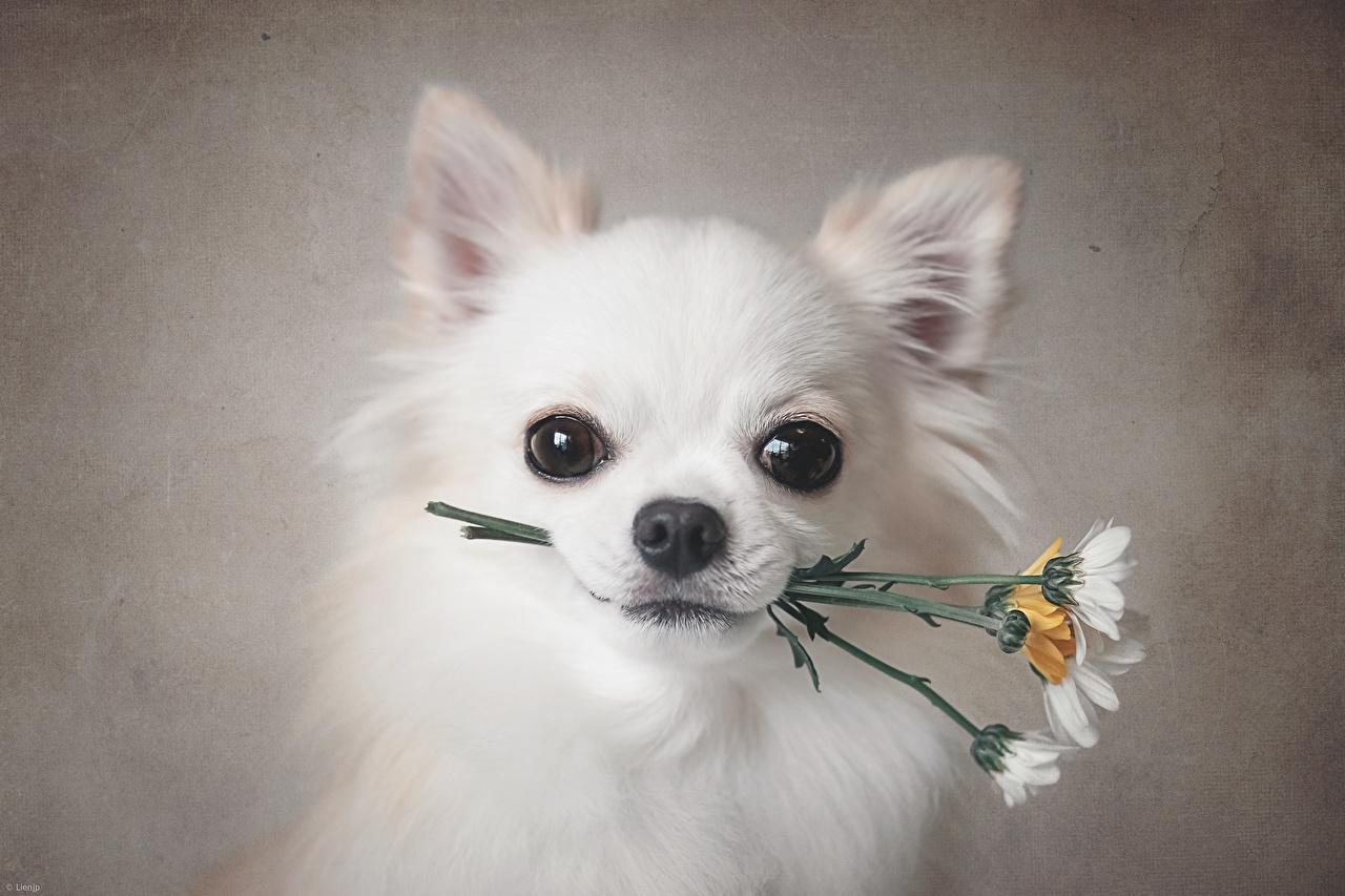 Картинка Чихуахуа Собаки белые Морда смотрит животное собака белых Белый белая морды Взгляд смотрят Животные