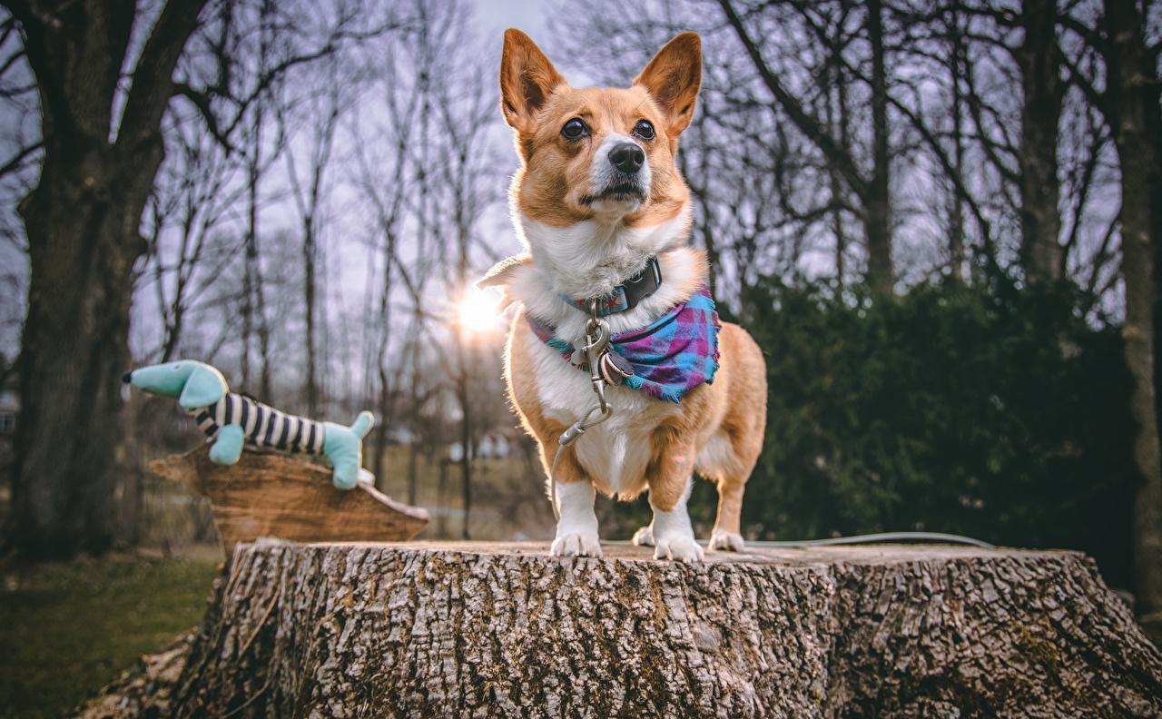 Картинки Вельш-корги Собаки Пень смотрят Животные собака пне Взгляд смотрит животное