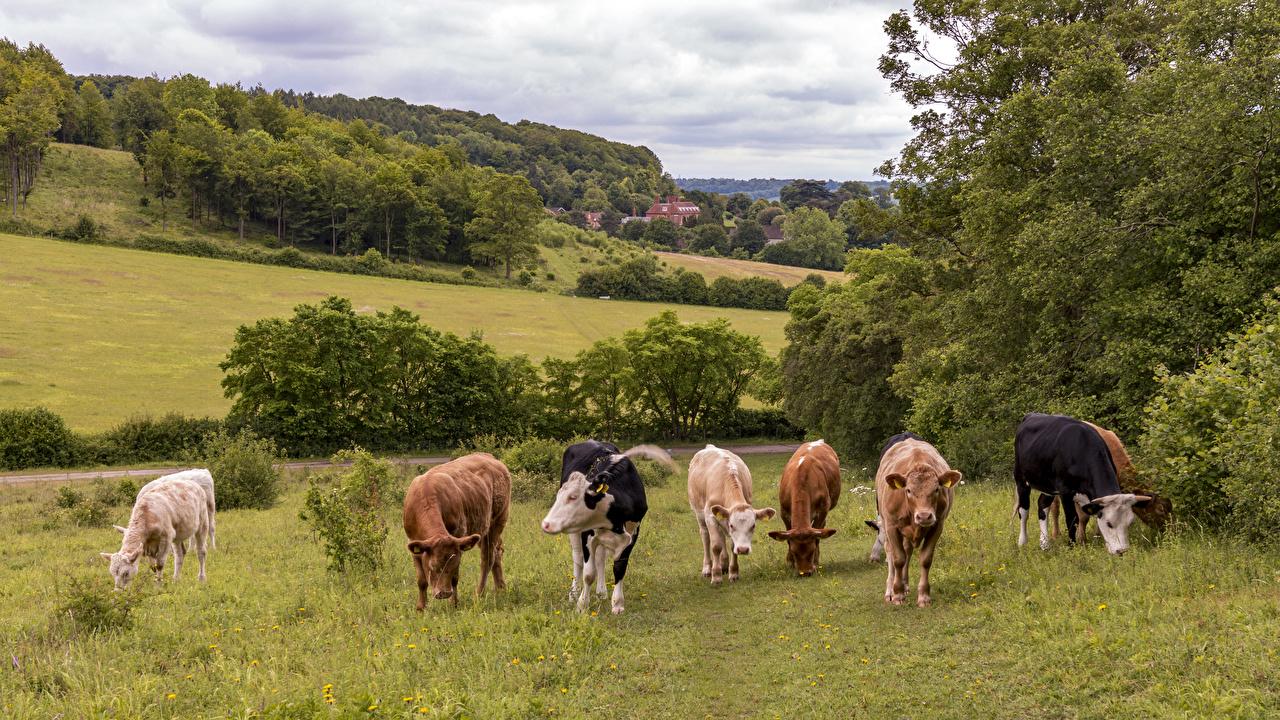 Фото Корова Великобритания Bradenham Природа Луга Животные коровы животное
