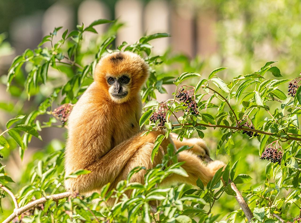 Картинка Обезьяны Yellow-cheeked crested Gibbon ветка смотрят животное обезьяна ветвь Ветки на ветке Взгляд смотрит Животные