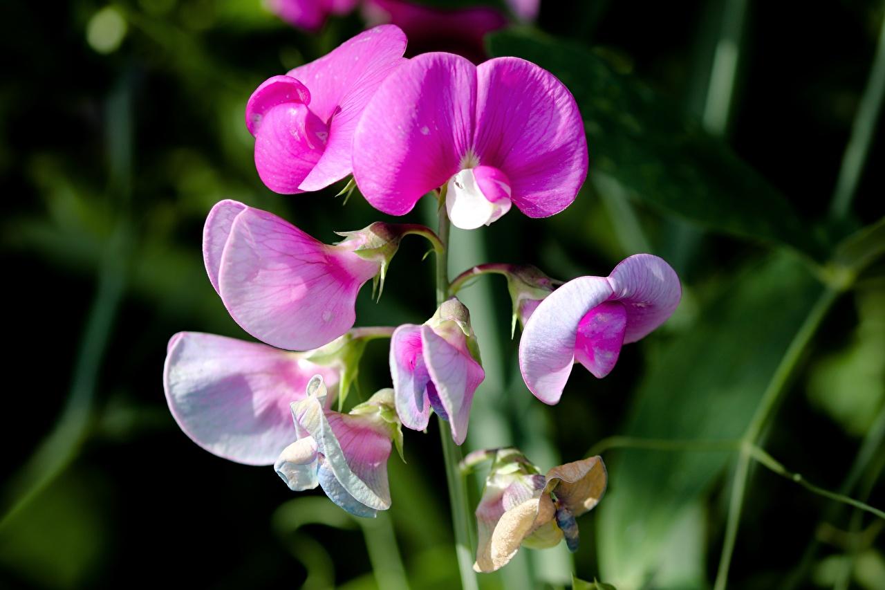 Фотография боке розовые цветок Душистый горошек Крупным планом Размытый фон розовая Розовый розовых Цветы вблизи