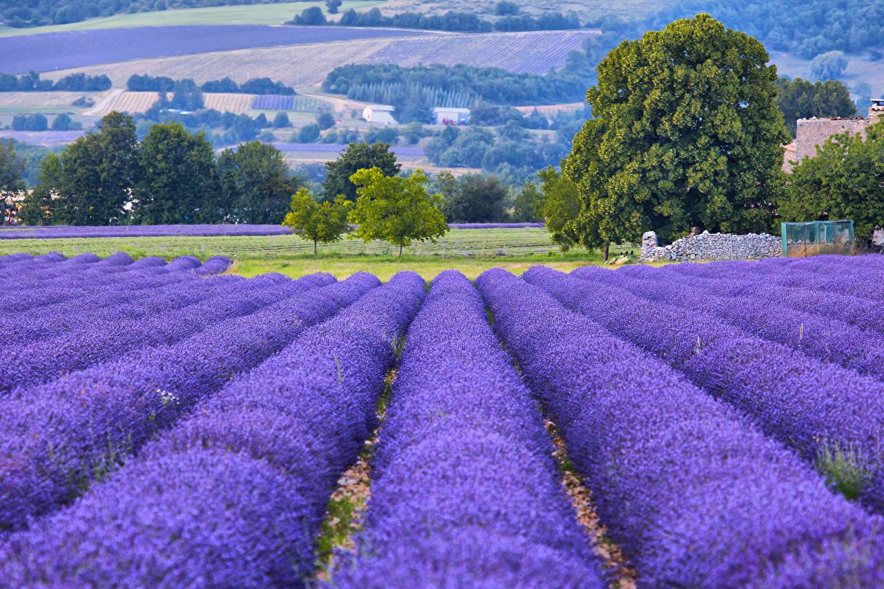 Обои Франция Provence Природа Поля Лаванда