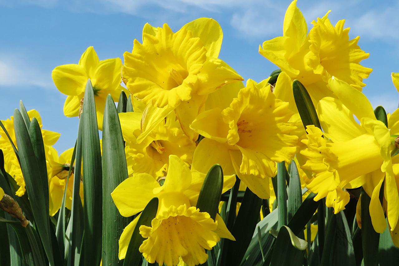 Фотография Желтый цветок Нарциссы вблизи желтая желтые желтых Цветы Крупным планом