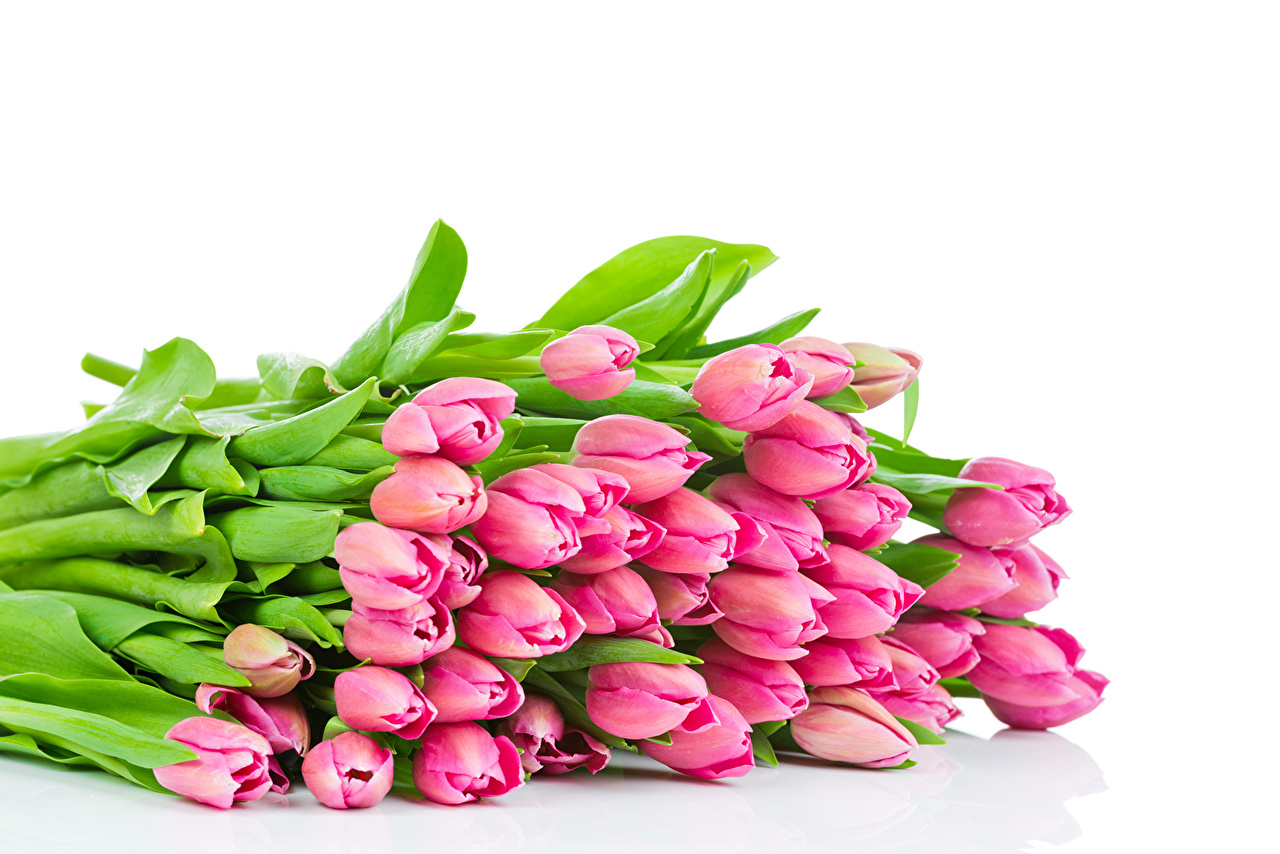 Картинки розовая Тюльпаны цветок Много тюльпан Розовый розовые розовых Цветы