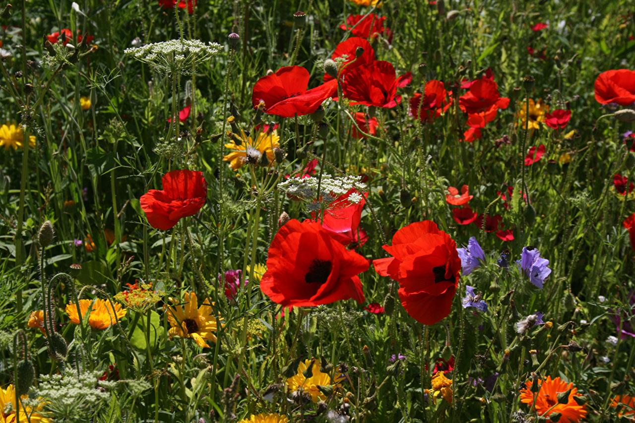 Обои Поля Маки Цветы Крупным планом вблизи