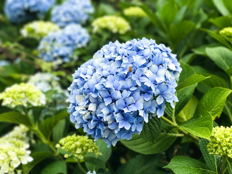 Картинки Голубой Цветы Гортензия вблизи голубых голубые голубая цветок Крупным планом