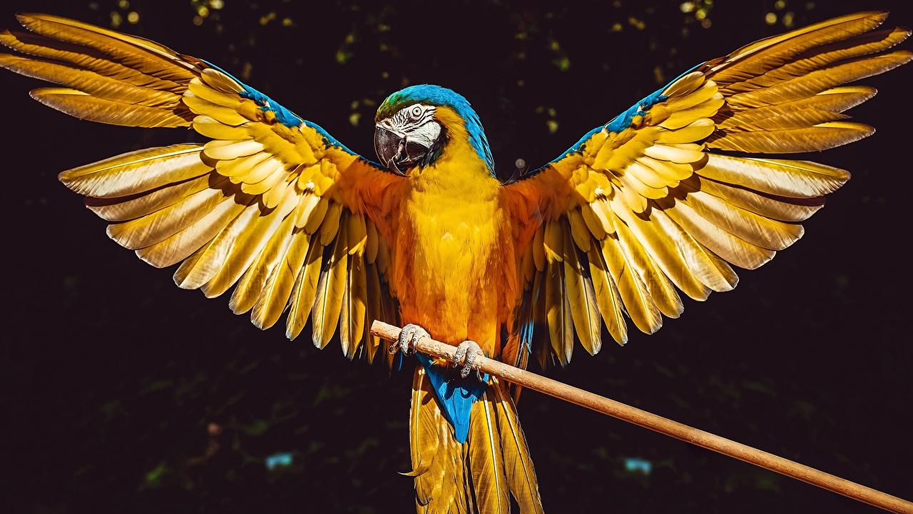 Картинки Ара (род) Птицы Попугаи Крылья Животные птица животное