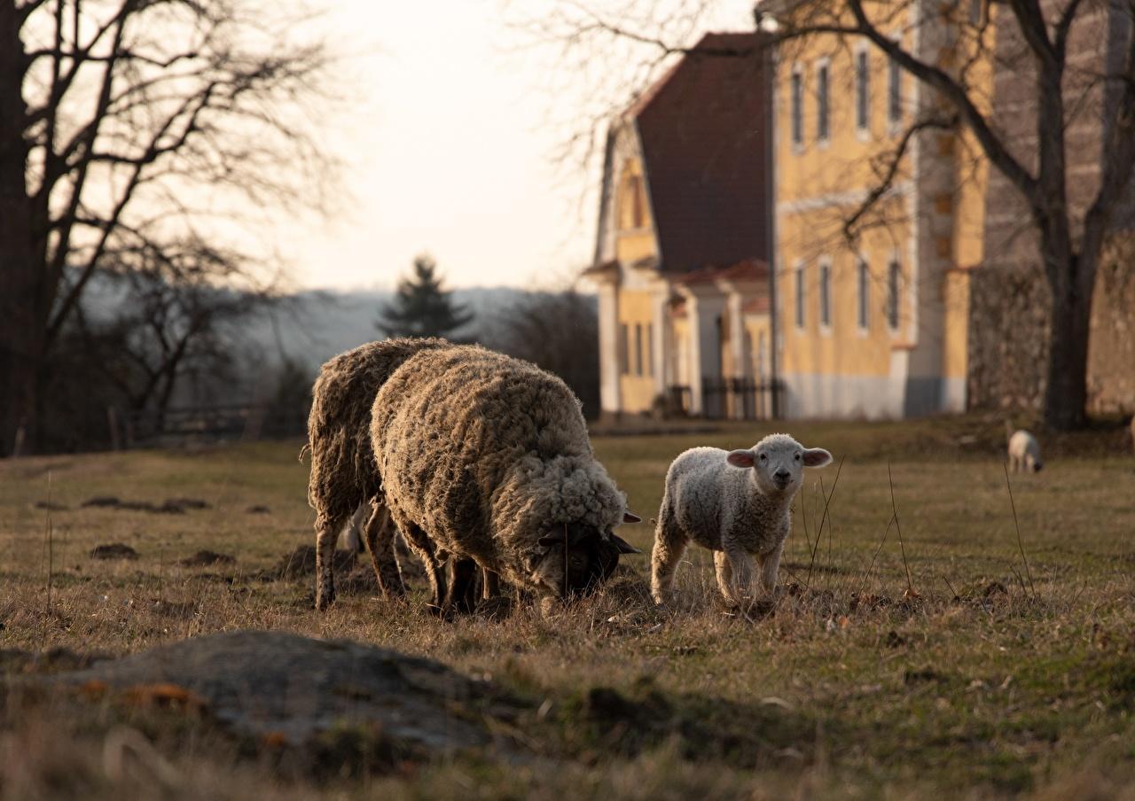 Обои для рабочего стола Овцы Детеныши Трава Животные траве животное