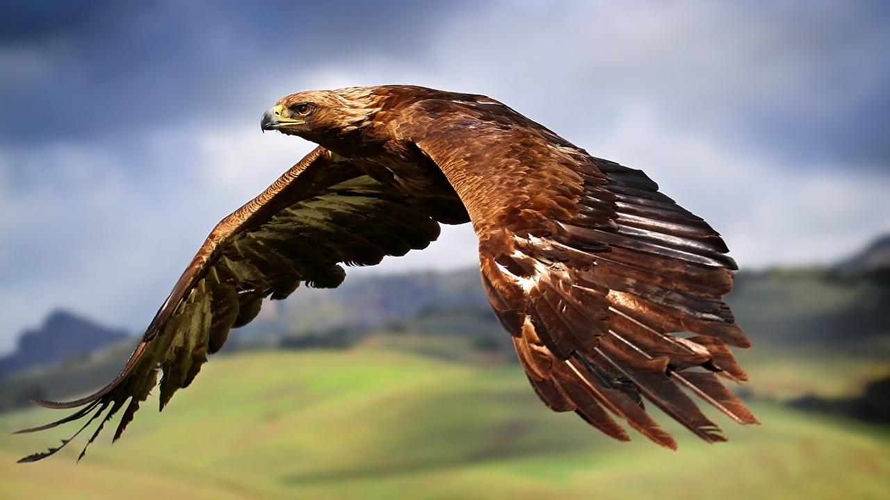 Фотографии Орлы Птицы Крылья Полет Животные летят летит летящий