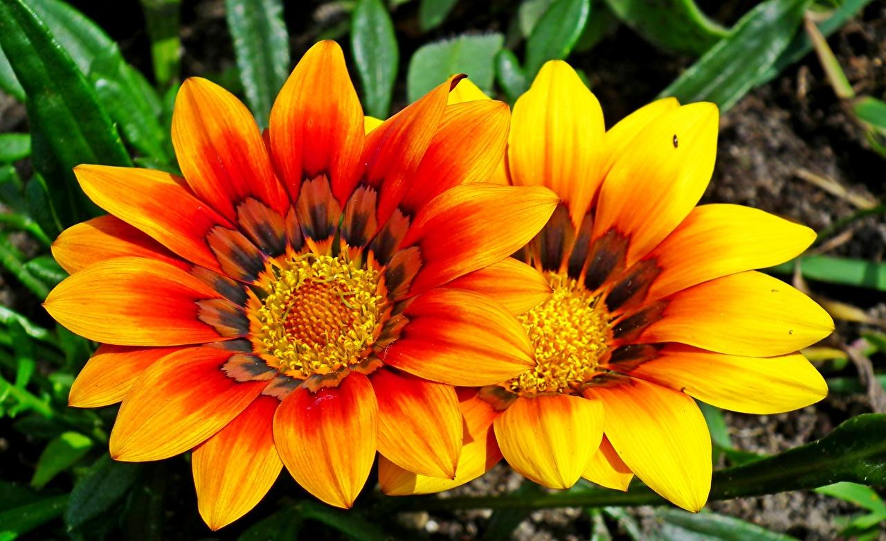 Обои для рабочего стола 2 Цветы Газания Крупным планом две два Двое вдвоем цветок вблизи