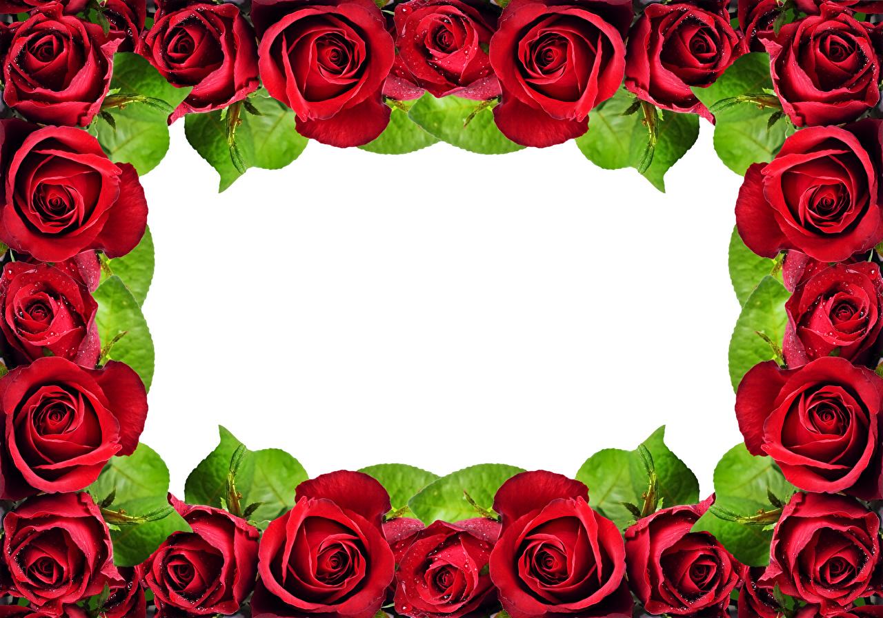 Картинка Розы Красный Цветы Шаблон поздравительной открытки вблизи Крупным планом