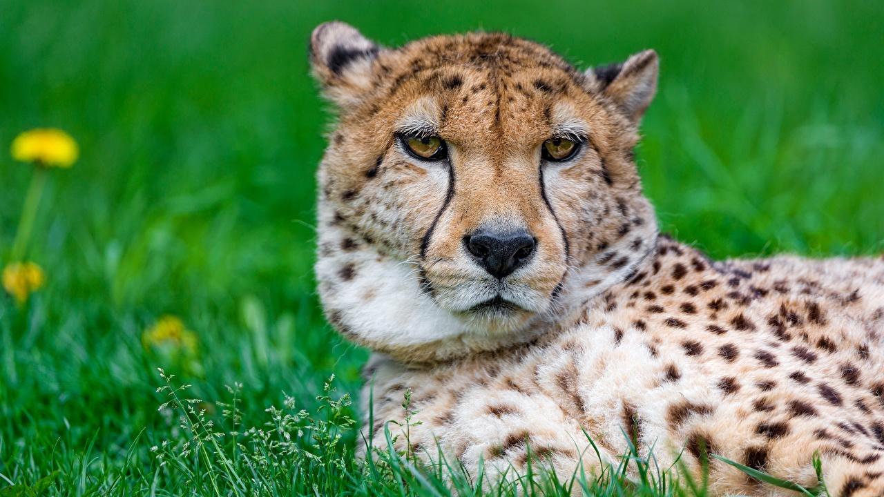 Фотографии гепард Морда Голова смотрит животное Гепарды морды Взгляд головы смотрят Животные