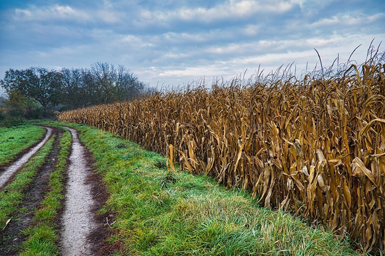 Фото Природа Кукуруза Поля Дороги Трава траве