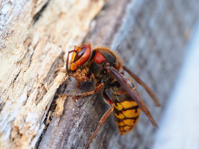 Картинки Животные насекомое Макросъёмка Оса Крупным планом животное Насекомые Макро осы вблизи
