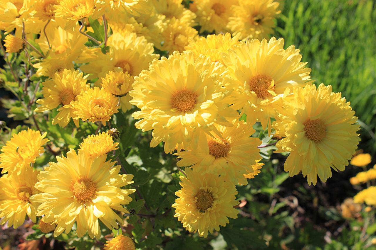 Обои для рабочего стола желтые Цветы Хризантемы вблизи желтая Желтый желтых цветок Крупным планом