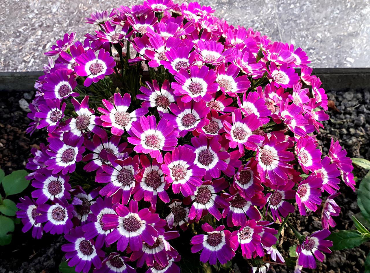 Фотография фиолетовых Цветы Цинерария Много вблизи фиолетовая фиолетовые Фиолетовый цветок Крупным планом