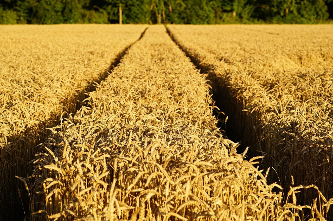 Картинки тропы Пшеница Природа Поля Колос Тропа тропинка колосок колоски колосья