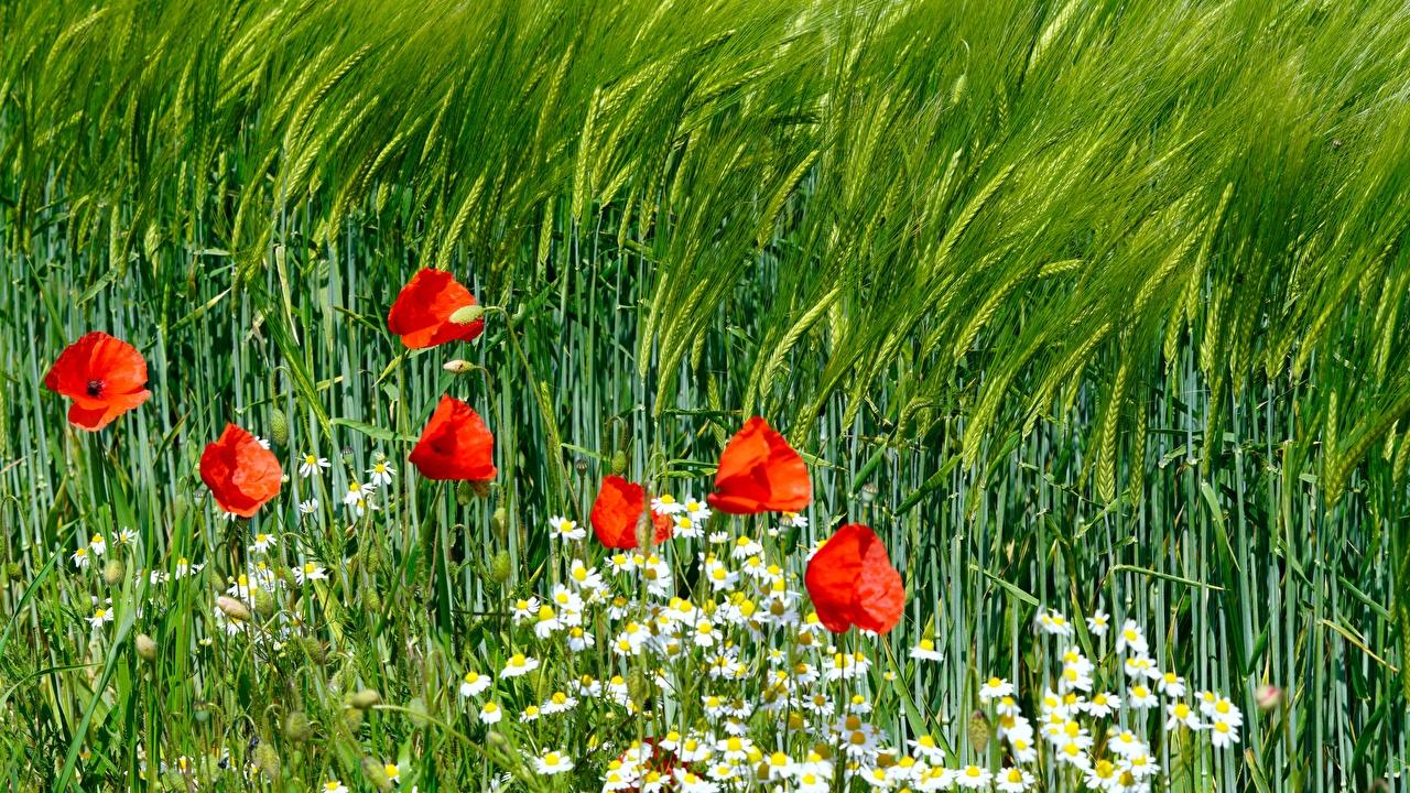 Картинка Природа Маки Колос Ромашки мак ромашка колосок колоски колосья