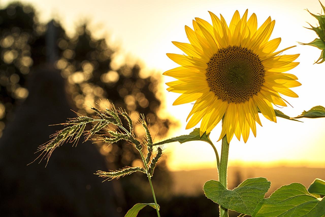 Картинка боке желтые цветок Подсолнечник Размытый фон желтая Желтый желтых Цветы Подсолнухи
