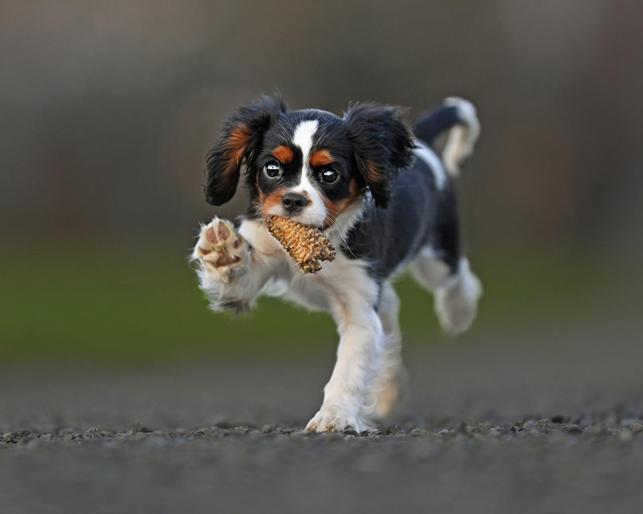 Фотографии щенки Кинг чарльз спаниель Собаки животное Щенок щенка щенков собака Животные