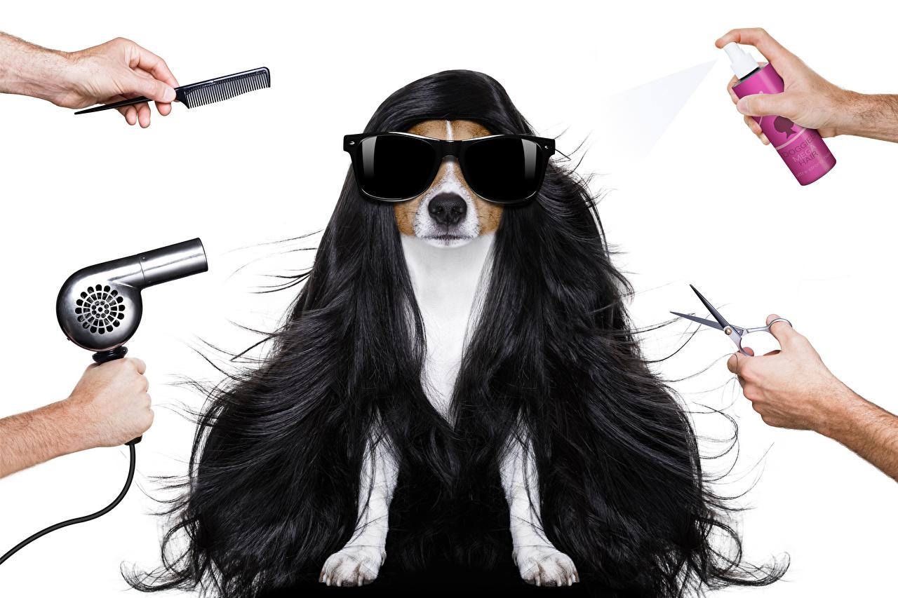 Картинки Животные Джек-рассел-терьер Собаки Волосы Руки Очки Фен Белый фон