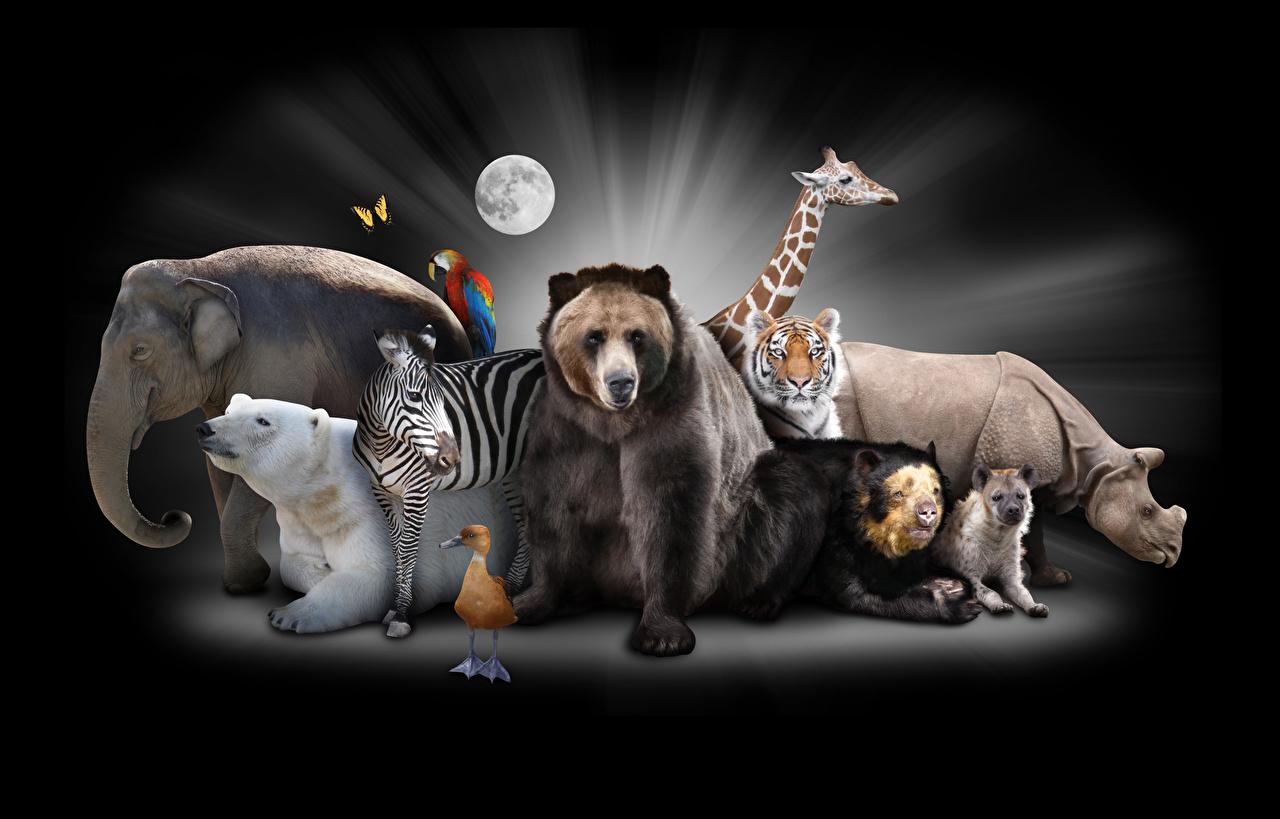 Фотография полярный Бурые Медведи слон тигр жираф Птицы Зебры Гиппопотамы животное Черный фон Гризли северный Белые Медведи Тигры Слоны птица зебра Жирафы Бегемоты Животные на черном фоне