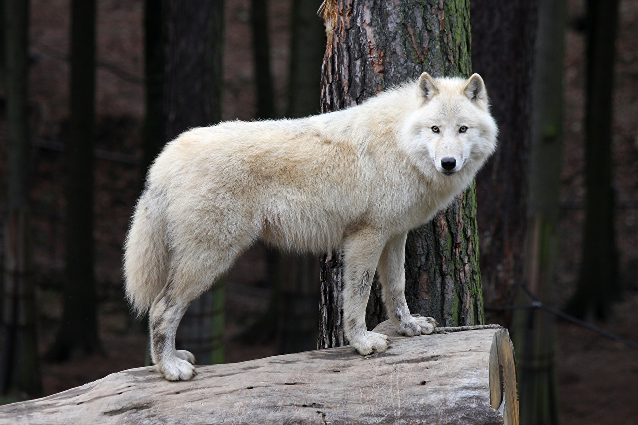 Фото волк белая Взгляд животное Волки Белый белые белых смотрит смотрят Животные