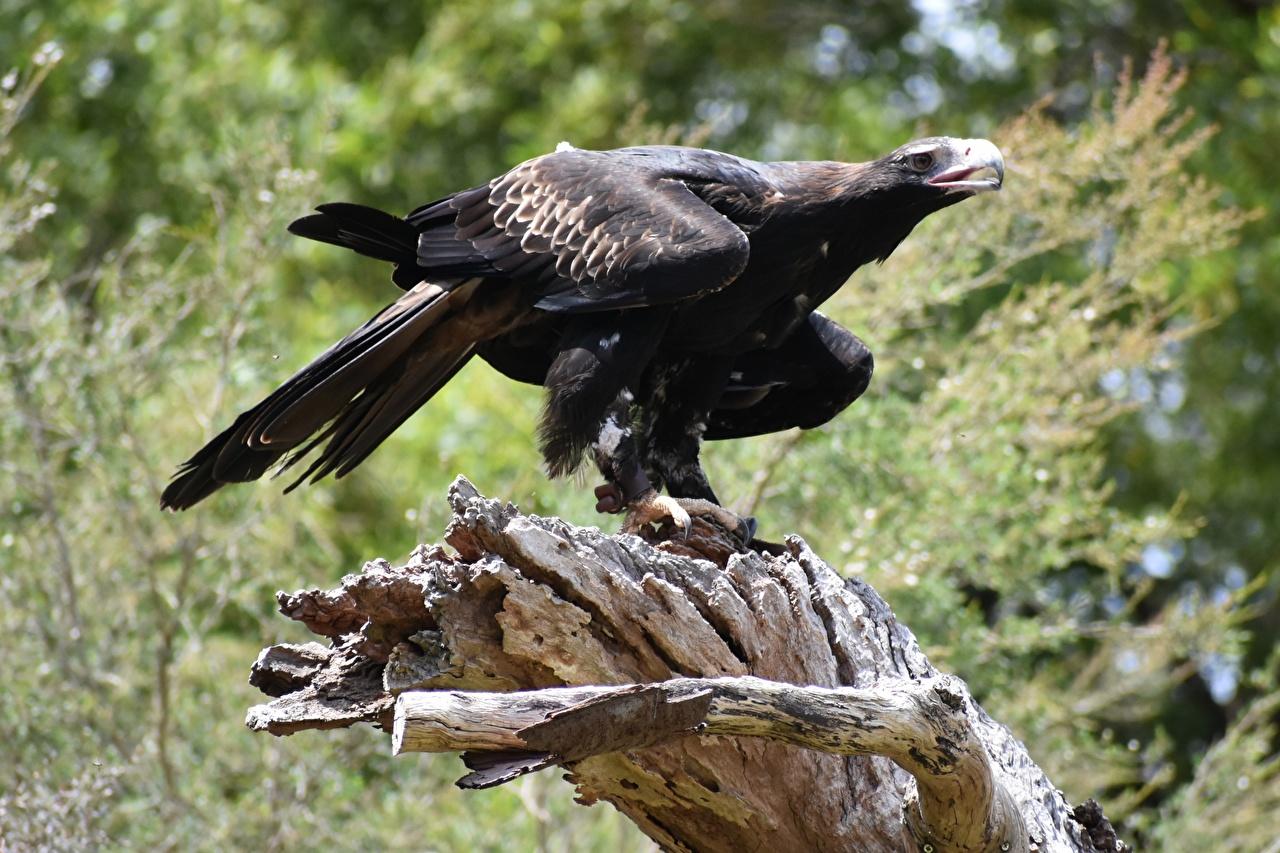 Фото Орлы птица Размытый фон черная Животные орел Птицы боке Черный черные черных животное