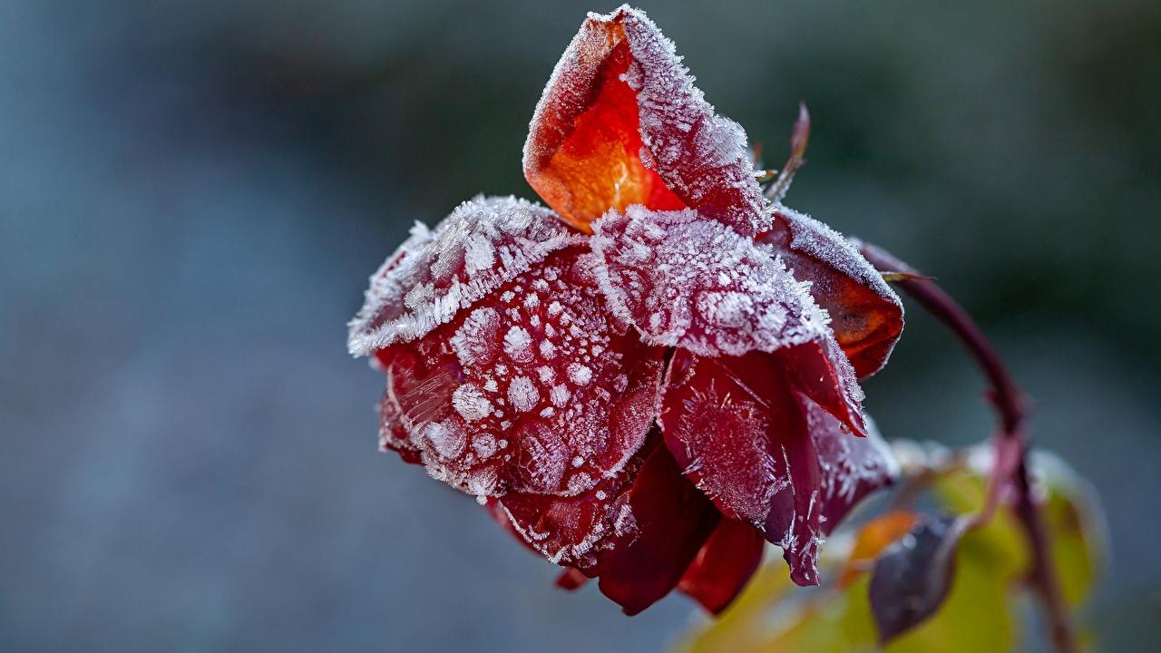 Фотографии Цветы Размытый фон Розы красная Иней вблизи цветок боке роза Красный красные красных Крупным планом