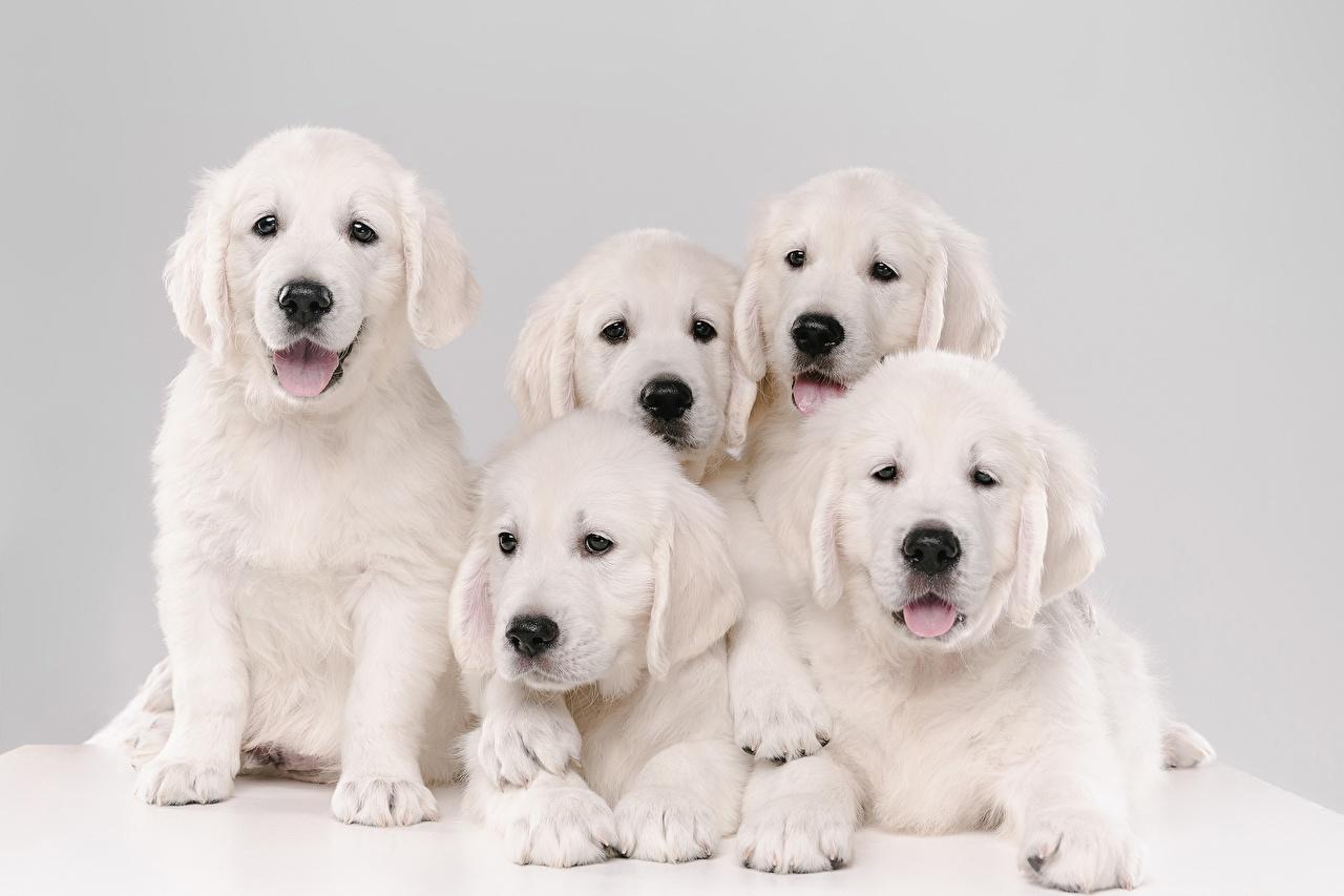 Обои для рабочего стола щенков Золотистый ретривер Собаки 5 белая Животные щенки Щенок щенка собака Белый белые белых животное