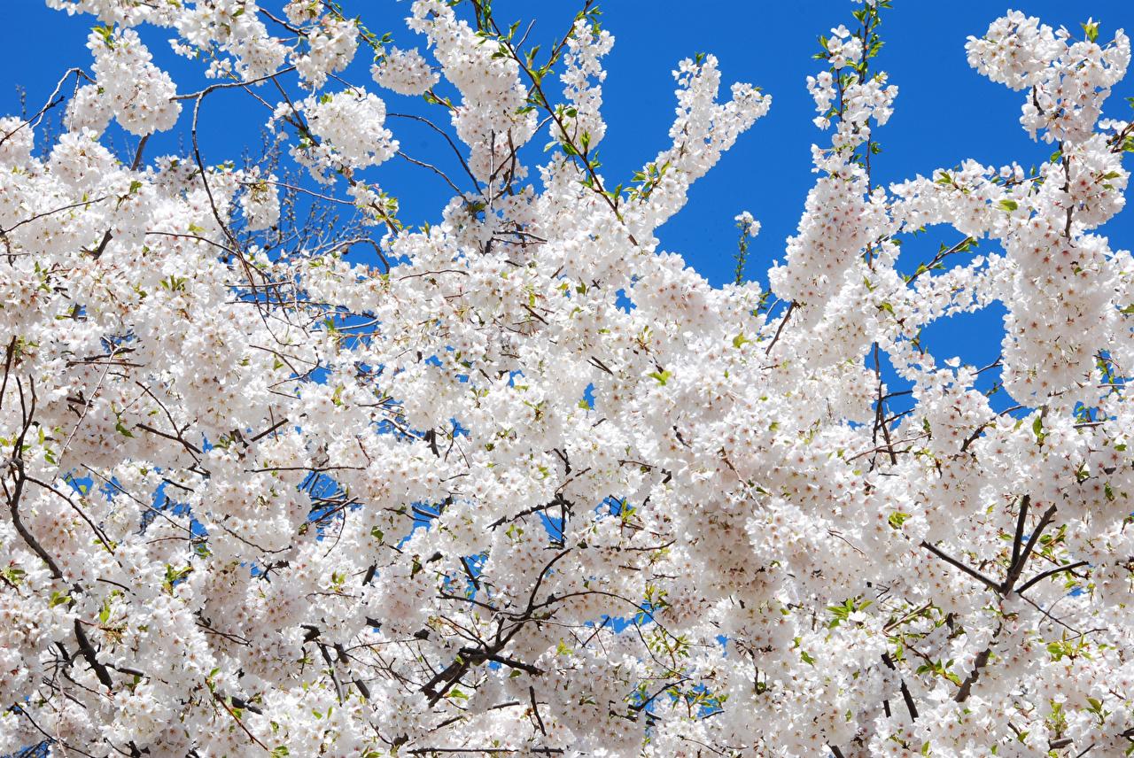 Картинка Сакура Белый Цветы ветвь Цветущие деревья сакуры белых белые белая Ветки ветка на ветке